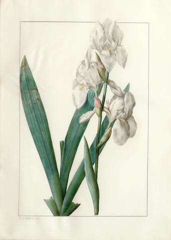 Pierre Joseph Redouté  (French, 1759-1840) Liliaceae: Iris florentina 19 x 13 1/2in (48.2 x 34.3cm)
