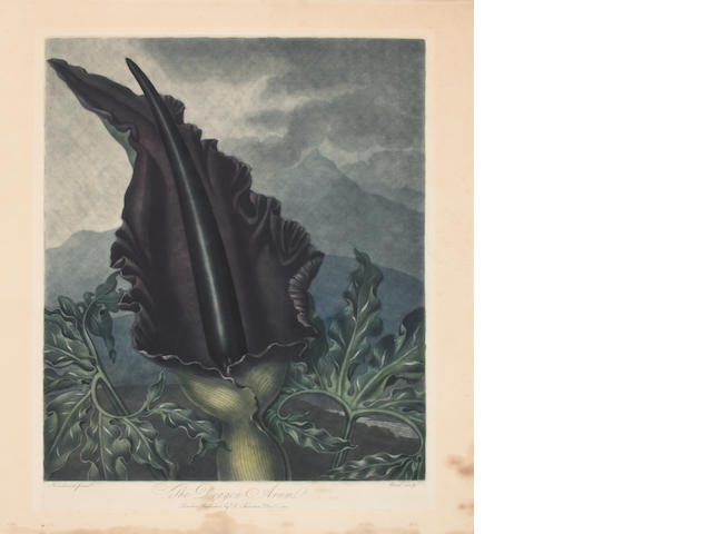 Robert John Thornton (1768-1837); The Dragon Arum, from The Temple of Flora;