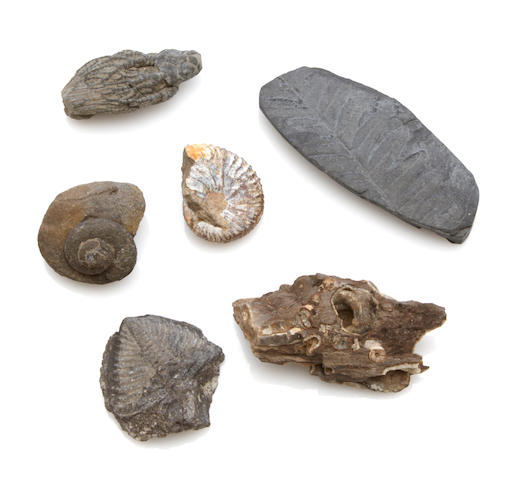 Large group of paleobotony and other fossils