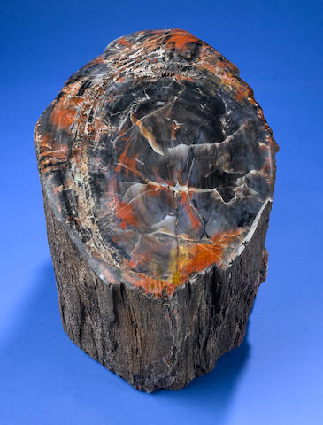 Rainbow Petrified Wood Stumpcontour polished.