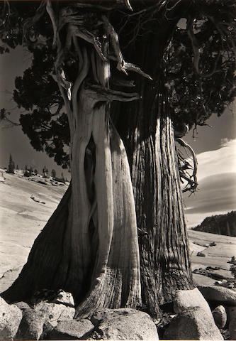 Edward Weston (American, 1886-1958); Juniper at Lake Tenaya;