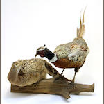 A taxidermic study of two pheasants