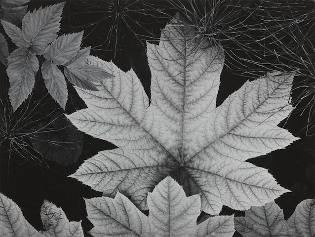 Ansel Adams (1902-1984); Leaf, Glacier Bay National Monument;
