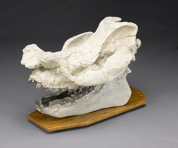 Impressive Titanothere Skull