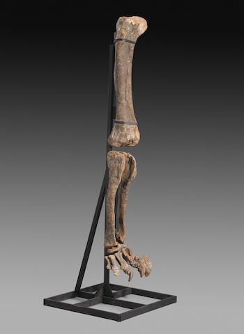 Sauropod Dinosaur Leg
