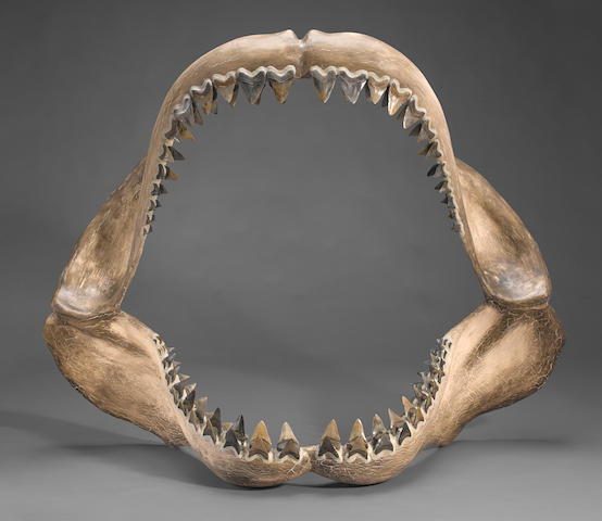 Gigantic Megalodon Teeth in Jaw Reconstruction