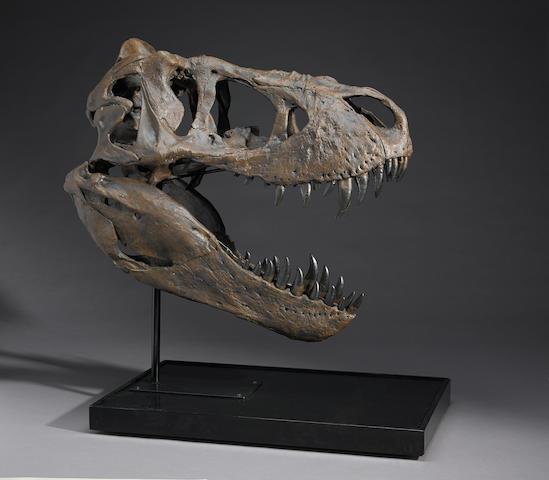 T-rex skull cast, Duffy