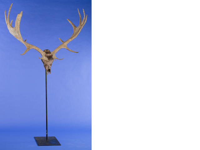 Giant Irish Elk Skull and Antlers