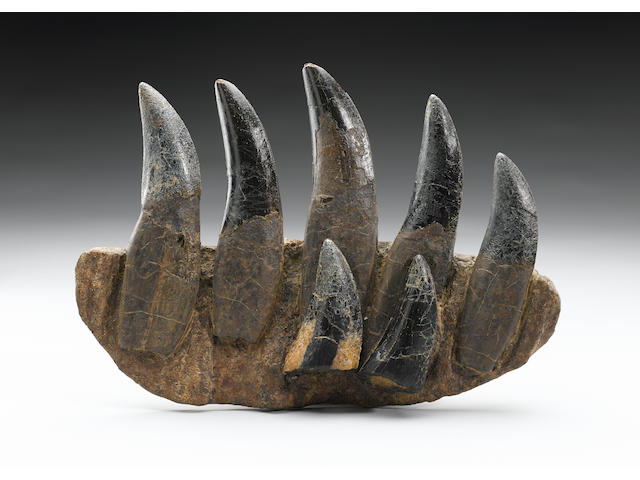 Tyrannosaurus rex maxilla with teeth