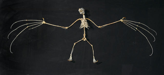 Giant Bat Skeleton