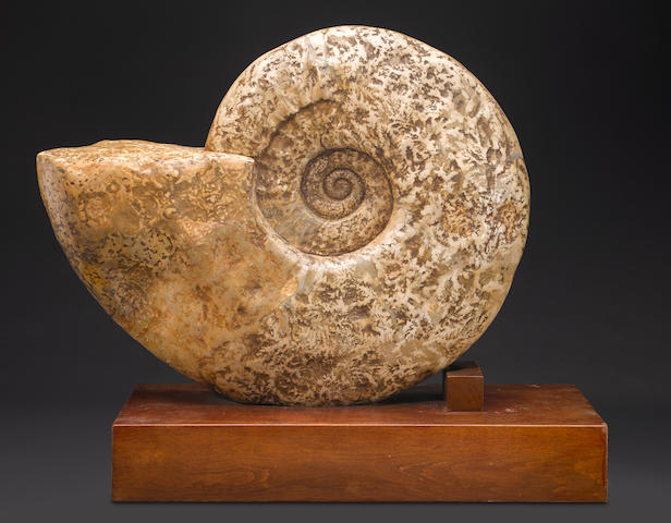 Colossal Texas Ammonite