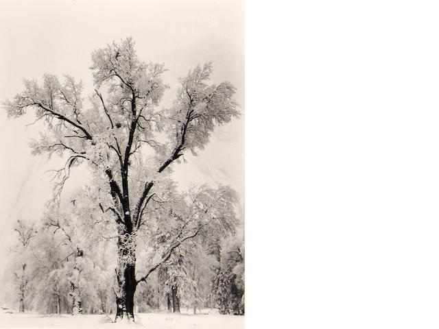 Ansel Adams (American, 1902-1984); Oaktree, Snowstorm;
