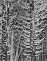 Ansel Adams (American, 1902-1984); Winter, Forest Detail, Yosemite Valley;