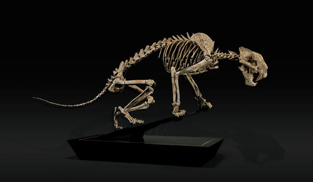 Rare Nimravid – Incomparable Mounted Skeleton