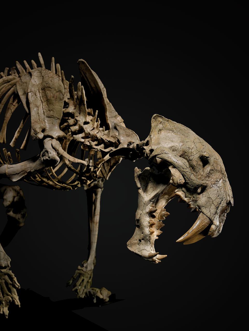 Rare Nimravid – Incomparable Mounted Skeleton