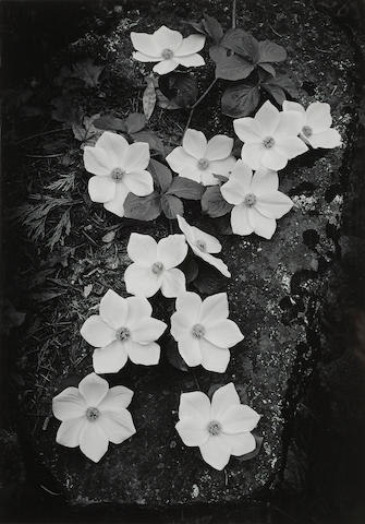 Ansel Adams (1902-1984); Dogwood, Yosemite National Park;