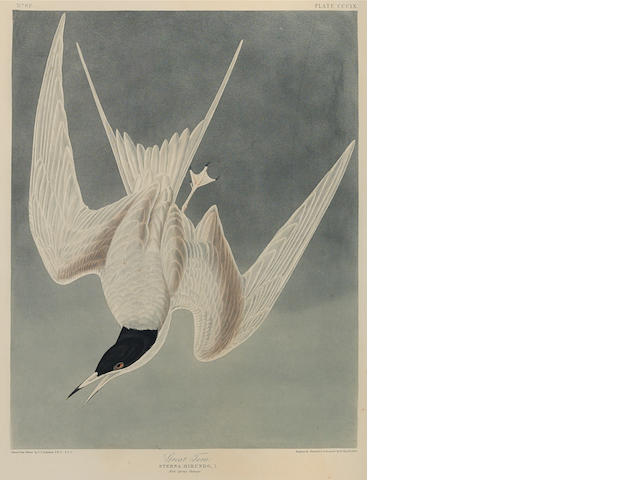 After John James  Audubon (1785-1851); Great Tern (Pl. CCCIX);