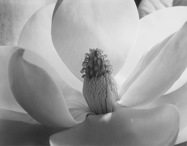 Imogen Cunningham (1883-1976); Magnolia Blossom;