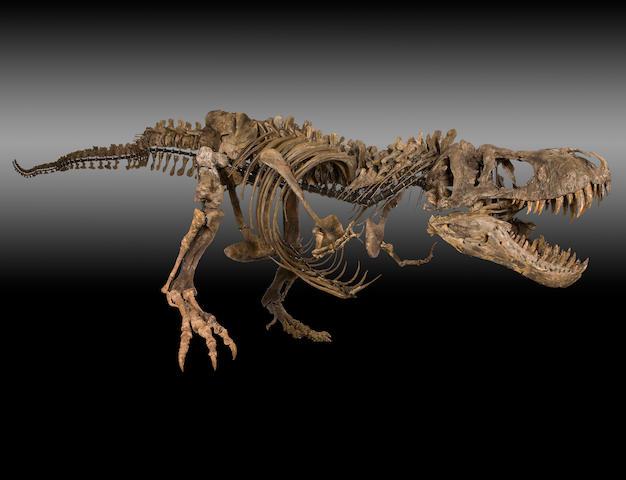 Mounted Tyrannosaurus rex Skeleton – A Spectacular Example of the Tyrant Lizard King