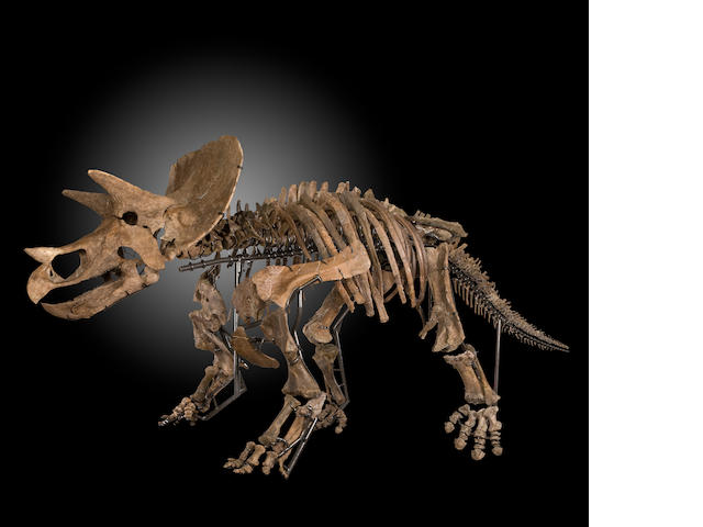 Mounted Triceratops Skeleton