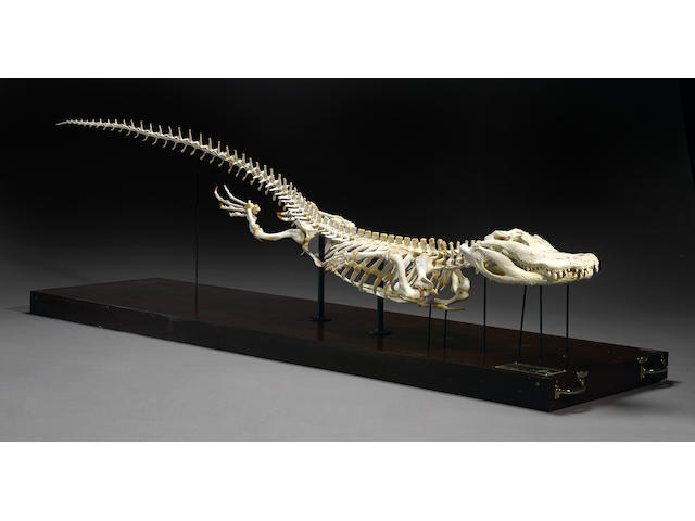 Modern Alligator Skeleton