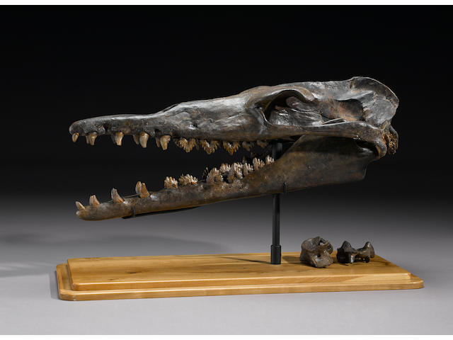 Prehistoric Whale Skull