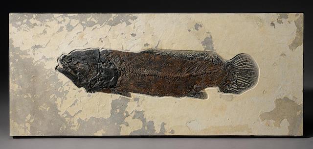 A Rare Fossil Bowfin