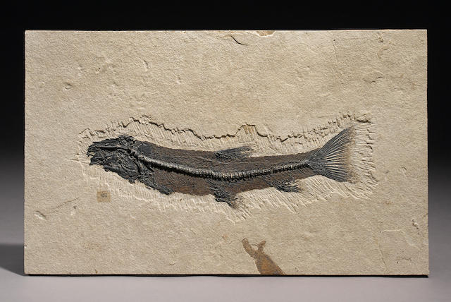 Large Notogoneus with Ulrich Signature
