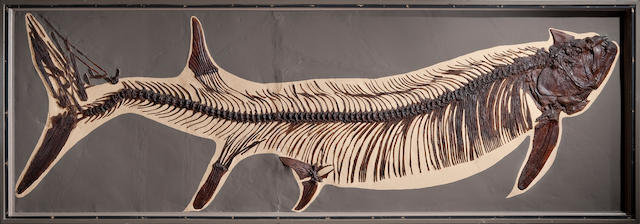 Historic Giant Cretaceous Fish Skeleton