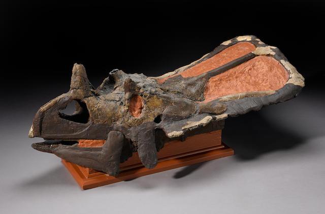 Ceratopsian Skull