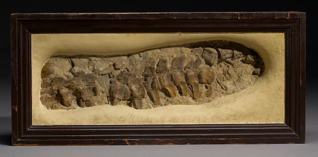 Mosasaur Tail signed C.H Sternberg