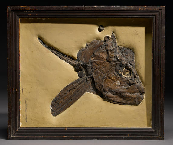 A Large Xiphactinus Skull