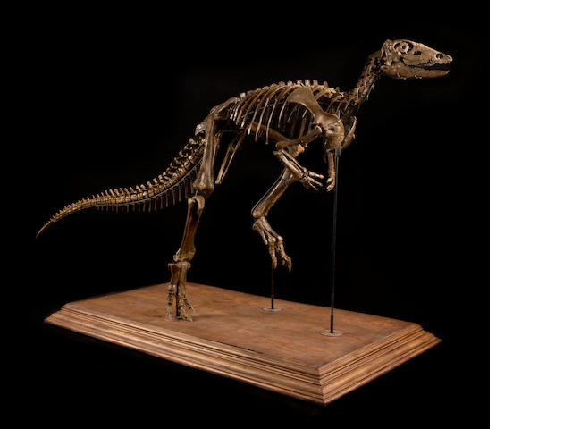 Incomparable Ornithopod Skeleton