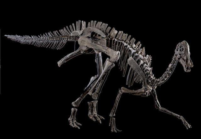 Mounted Juvenile Hypacrosaurus Skeleton