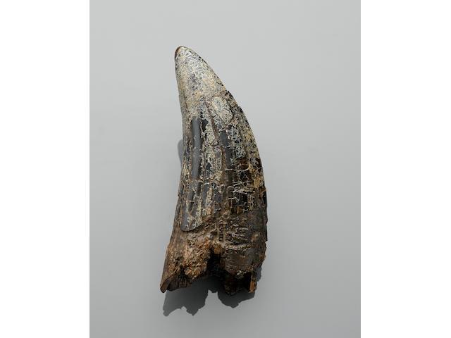 Large Tyrannosaurus rex Tooth