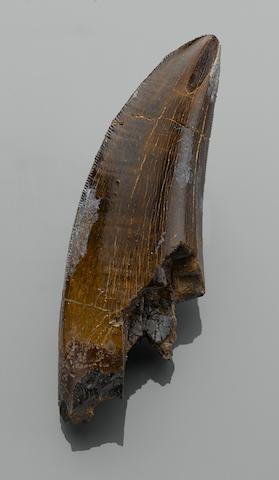 A Fine Tyrannosaur Tooth