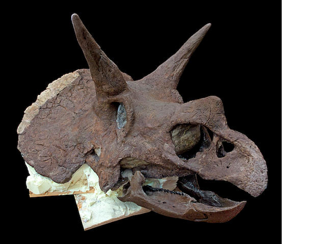 Massive Triceratops Skull