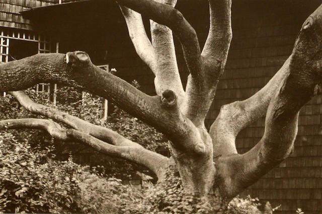 Dorothea Lange (1895-1965); Oak Tree at 1163 Euclid Ave., Berkeley;
