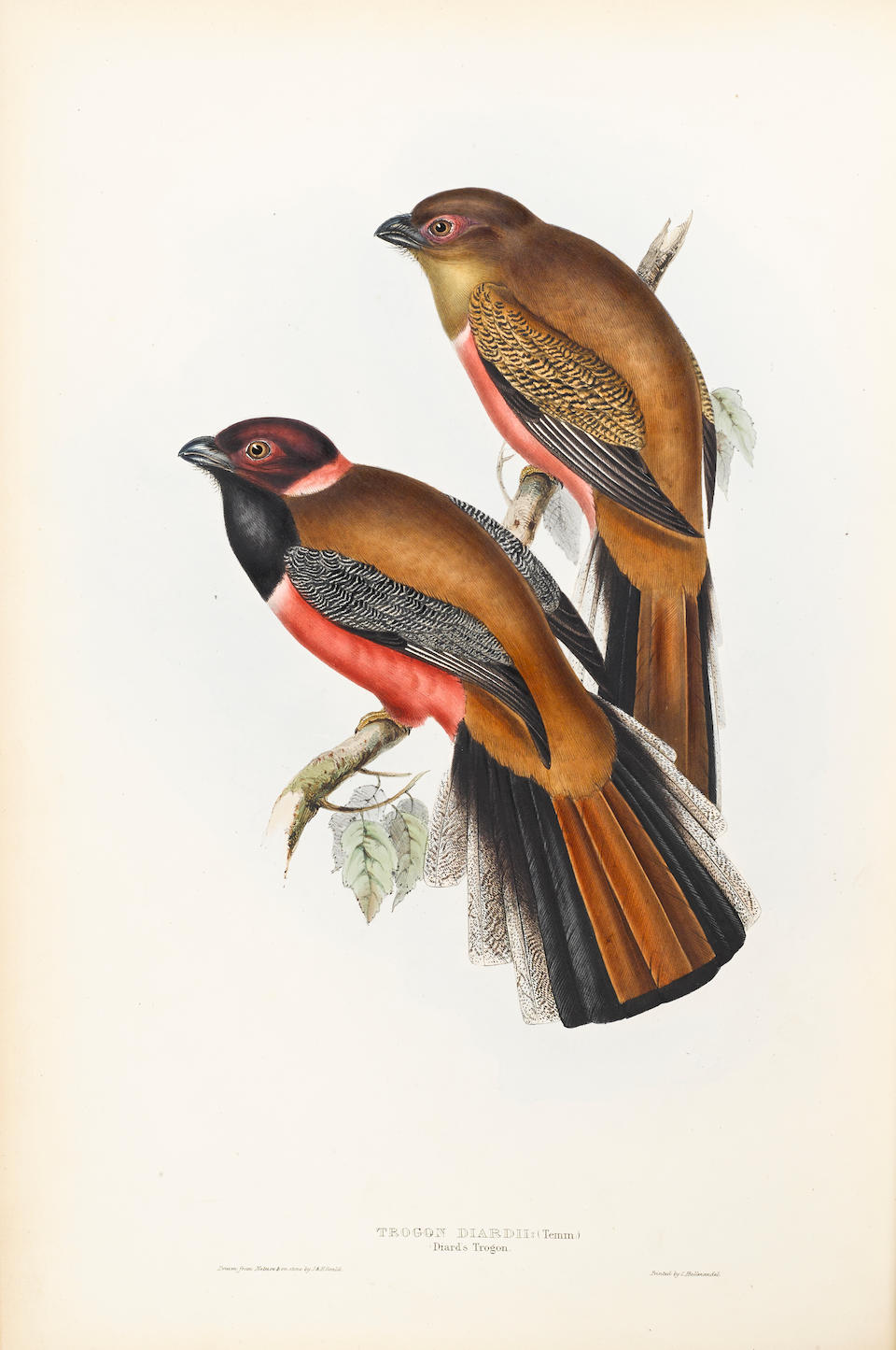 GOULD, JOHN. 1804-1881. A Monograph of the Trogonidae, or Family of Trogons.  London: the author, [1836]-38.