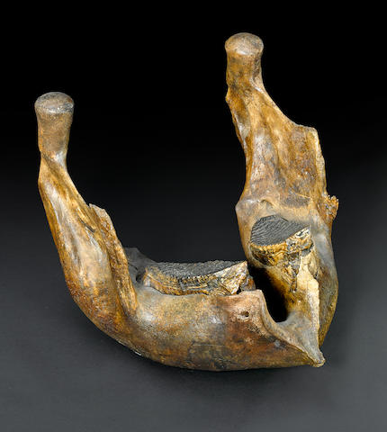 Large Mammoth Jaw