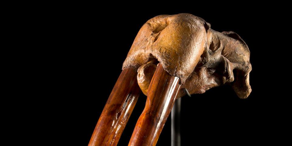 Massive Fossil Walrus Skull and Tusks