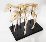 Authentic Two-headed Calf: A Taxidermic Specimen and A Complete Skeleton Mount