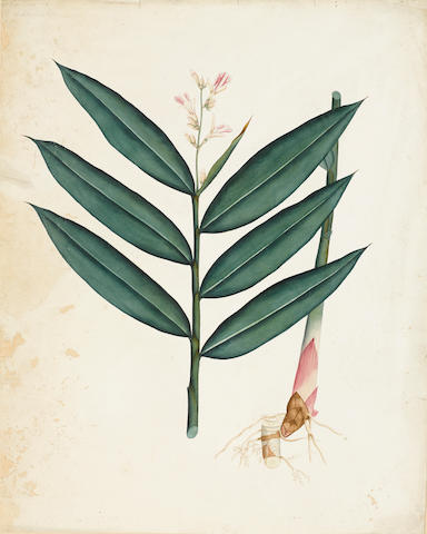 Six botanical studies Company School, Calcutta, 19th century