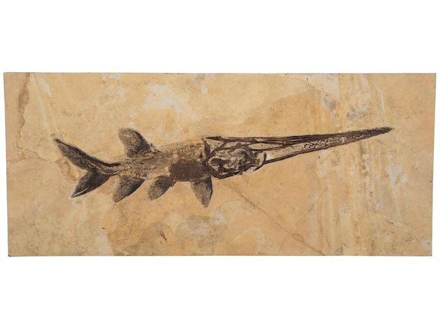 Fossil Paddlefish