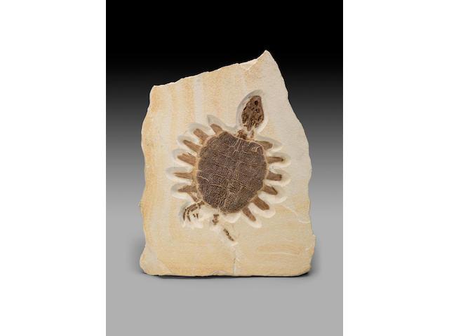 Eocene Fossil Turtle