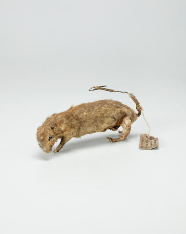 Explosive Rat Dummy. SOE [Special Operations Executive] Training example; an Explosive Dummy Rat,