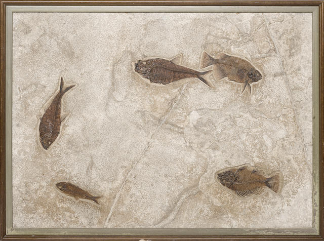 Multiple Fossil Fish – Framed Mural
