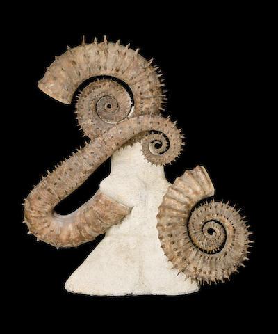 Group of Heteromorphic Ammonites