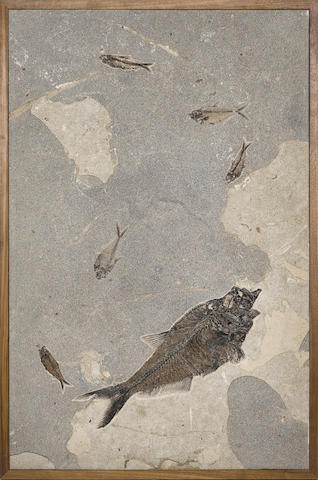 Fossil Fish in Limestone – Framed Mural