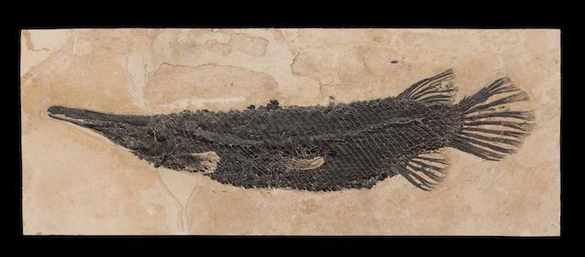 Superb Fossil Gar Fish
